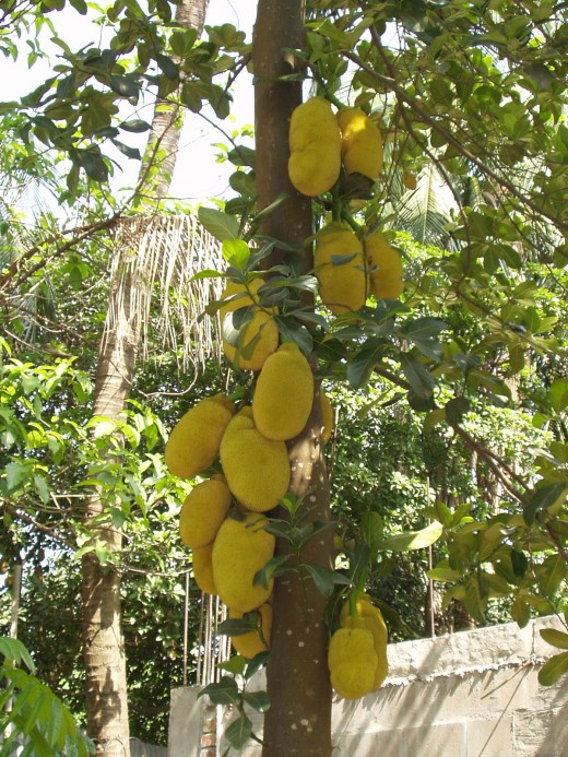 essay on jackfruit The acceptability of jackfruit (artocarpus heterophyllus) seeds as nutritive organic chips an investigatory project entry to the intel philippines division.
