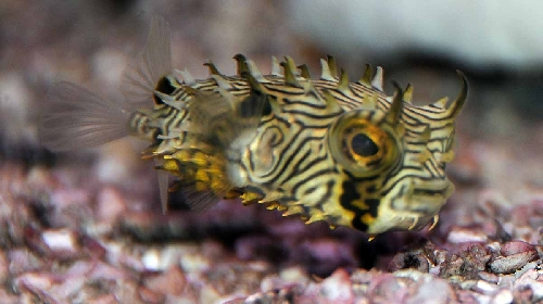 Spiny box puffer fish