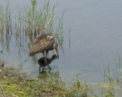 Limpkin Chicks
