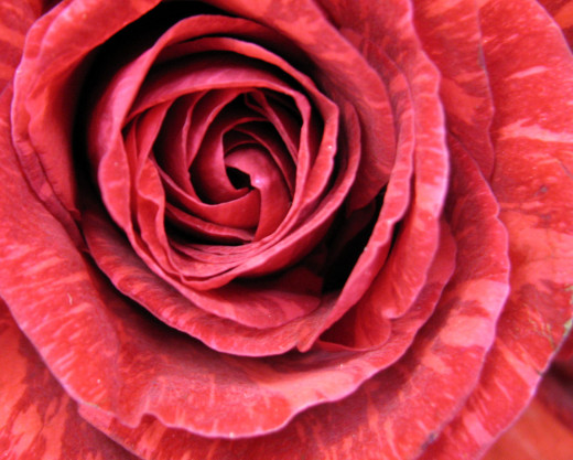 Lovely color variations in this rose
