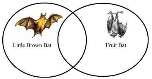 Venn Diagram Comparing Little Brown Bats with Fruit Bats