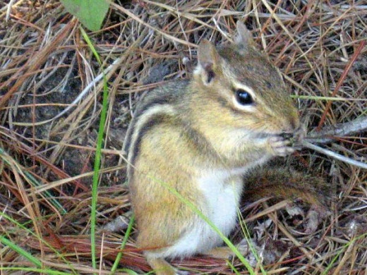 Chipmunk in New Hampshire