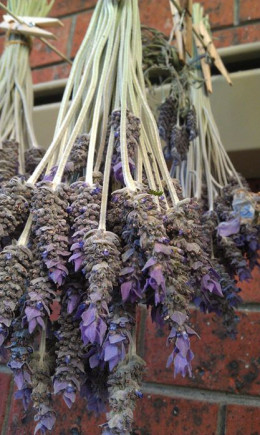 Lavender drying on our washing line ready to be included in dried arrangements