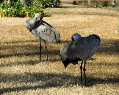 It's Quickly over and the Two Cranes Spend Some Time Smoothing Their Feathers