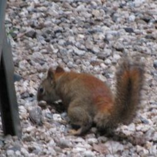 Red squirrel in the yard in New Hampshire.