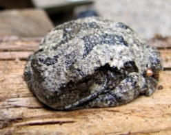 The Gray Tree Frog in New Hampshire