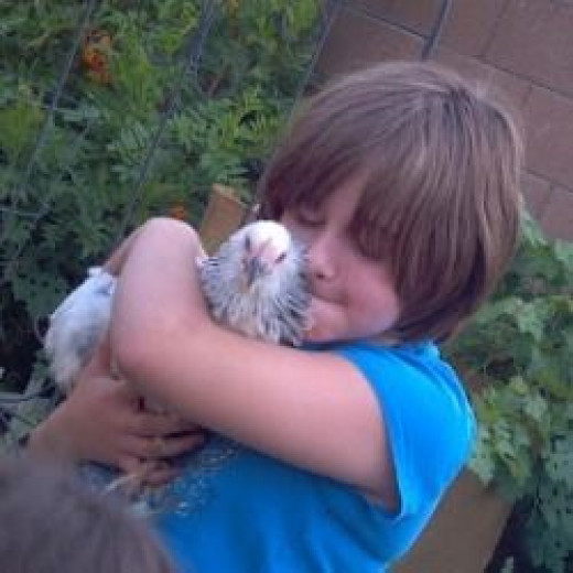 Chickens that are handled when they are young can make friendly pets.