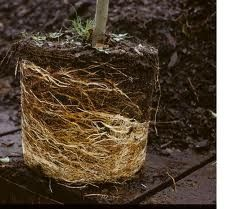 Circling roots may mean that the tree has been in the nursery pot too long.