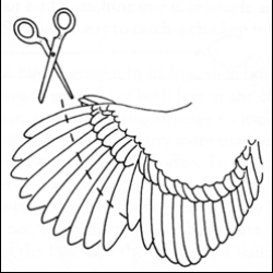 Clip the long, hollow feathers on only one wing.