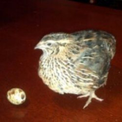 Raise Coturnix Quail for Eggs, Meat and Profit