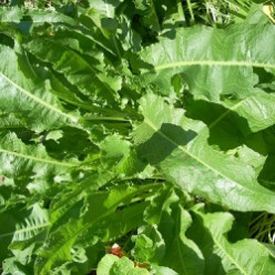 Garden Tips from The Micro Farm Project: How to Grow Horseradish