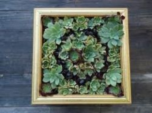 Succulents planted in a picture frame.