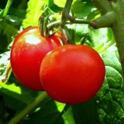 How to Grow Tomatoes from Seeds
