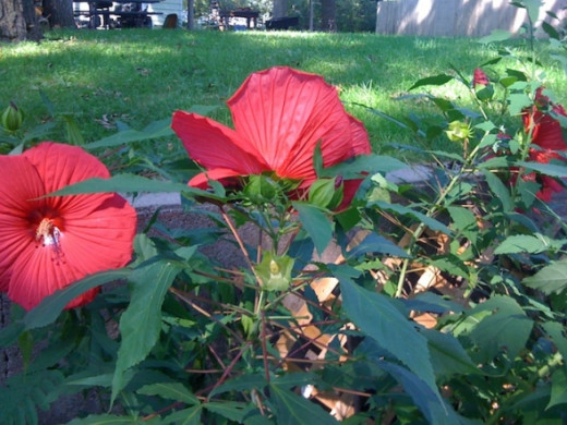 Hardy Hibiscus blooming in late summer