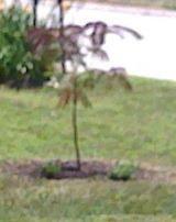 My baby Mimosa tree!