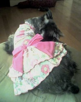 Sue-Su is a little 5 year old girl in my rescue, she came in as a 4 month old puppy due to snapping at a little kid who was pulling her hair. She's never offered to bite anyone since. Sue loves to play dress-up! She adores being groomed, will stand m