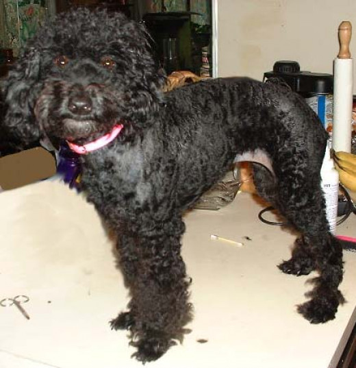 Brandi was a sweet poodle who found an awesome home!
