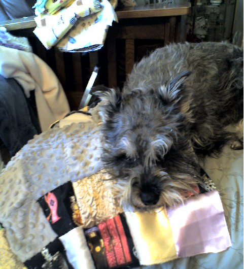 My adored SueSue Schnauzer thinks the quilt feels pretty good on top of mom's lap!