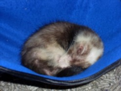 A Safe & Stimulating Environment for a Ferret