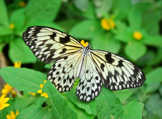 A beautiful butterfly at the Baluarte butterfly garden.