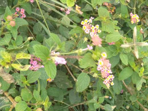 My Own Lantana Grown Especially For My Dogs
