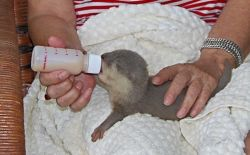 Baby otter pup about 2 weeks old.