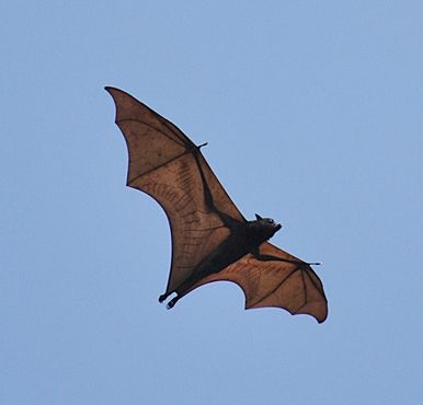 Flying fox fruit bat of Subic Bay Freeport zone, in Olongapo, Zambales.
