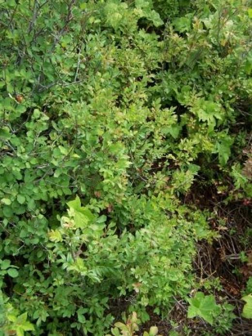 North Idaho Huckleberry Patch