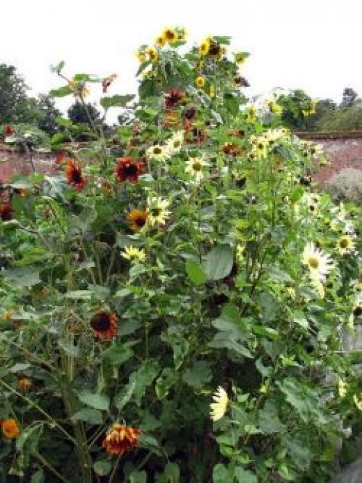Edible Seeds - Sunflower Seeds