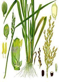 Gluten Free Grain -- Rice