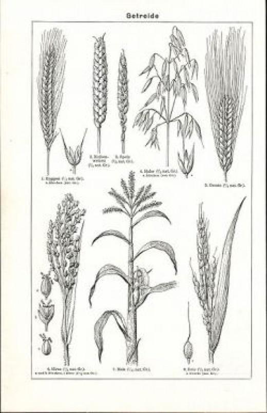 Gluten Free Grain -- Sorghum