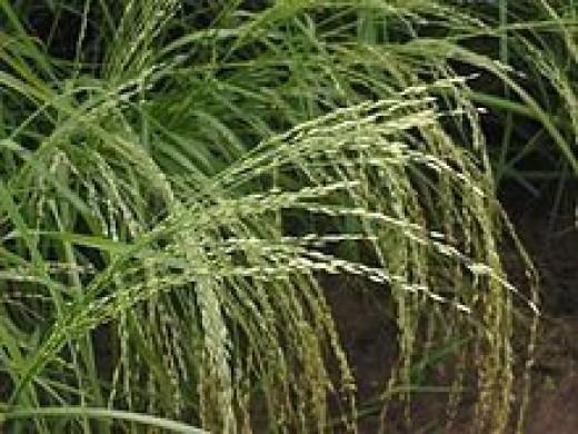 Gluten Free Grains -- Teff