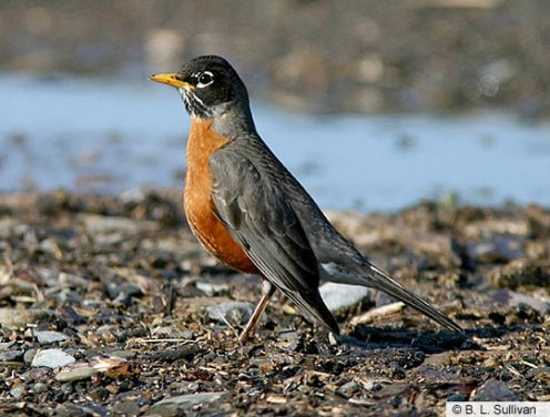 American Robin - often the first sign of spring.