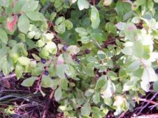 Finding Huckleberry Patches