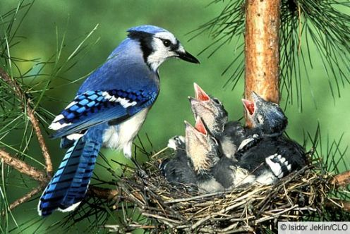 Bluejays - nesting in a pine tree.