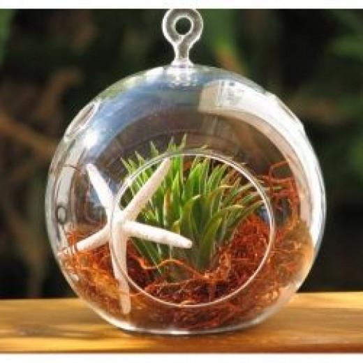 Starfish and Air Plant in Glass Terrarium