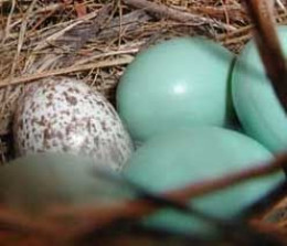 Speckled Brown-Headed Cowbird egg in a finch nest.