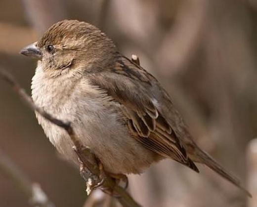 European House Sparrow Female
