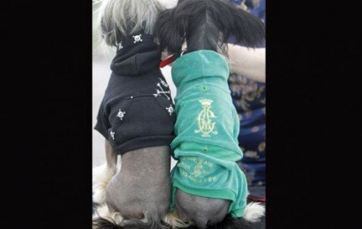 Chinese Crested dogs attend a dog show in Kalocsa, 130km (81 miles) south of Budapest.