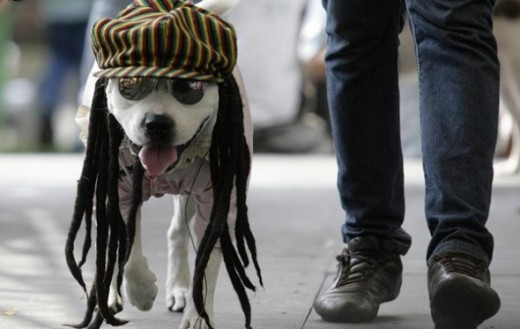 A dog dressed as a Rastafarian participates in the Family Pet Festival in Cali October 25, 2009