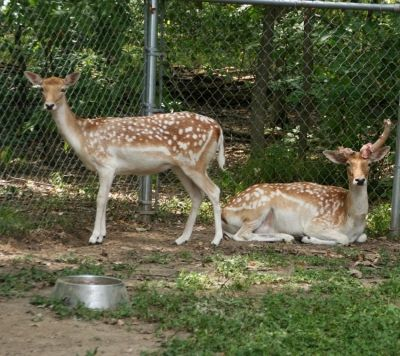 Doe and buck at the petting zoo in Buffalo Trace Park
