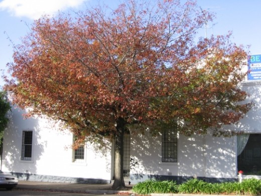 Pretty Hawthorn Tree