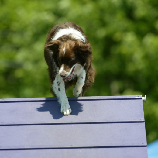 Killian loved to do agility, and I loved training him to do so.