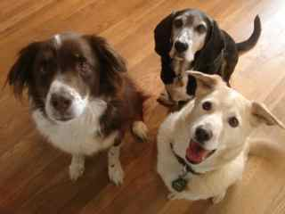 Killian on left, Barley in back, and 3-legged Hopps in front. A wonderful pack. Barley and Hopps both died shortly after my Mom did in 2012.