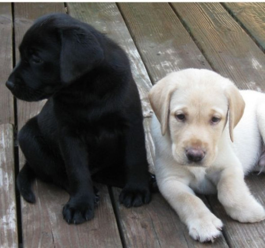 Labrador Retriever Puppies of Different Colors