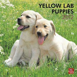 Yellow Labrador Retriever Puppy Calendar