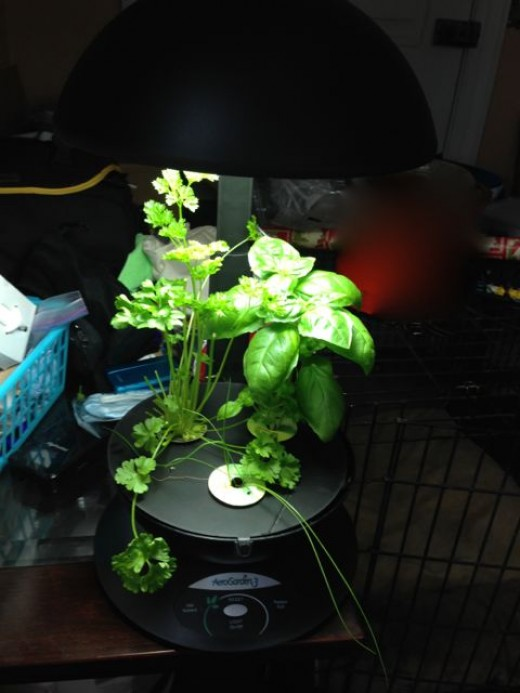 This is my own AeroGarden unit when it's almost done growing (about 2.5 months or so). I just trimmed it back pretty severely.