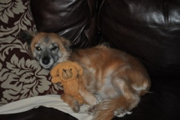 Margarita came to me from a rescue operating in St. Croix. She's my hoarder dog and will bury toys in her chair.