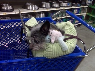 This was taken in the petstore the day I adopted wee Gizmo. She already had a new collar, leash, bed and toy - yep, that day set me back a few hundred.