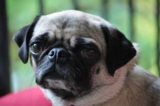 Matee is my boyfriend John's pug. She's a gorgeous girl and very petite at only 14 lbs.